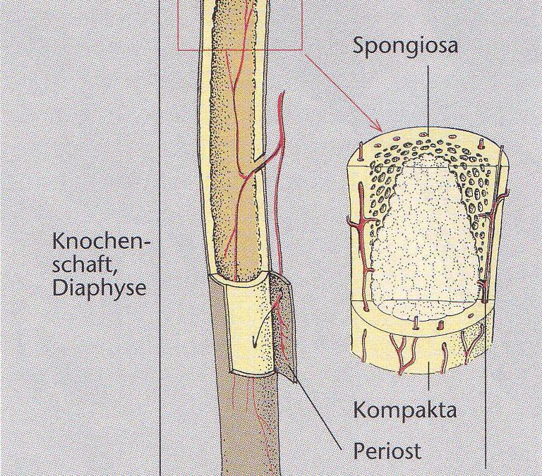 Lehrbrief 1 – 1.2 Allgemeine Anatomie