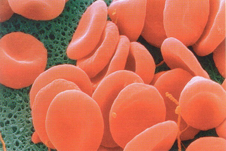 Lehrbrief 6 – 1.3  Blut / Lunge und Atmung