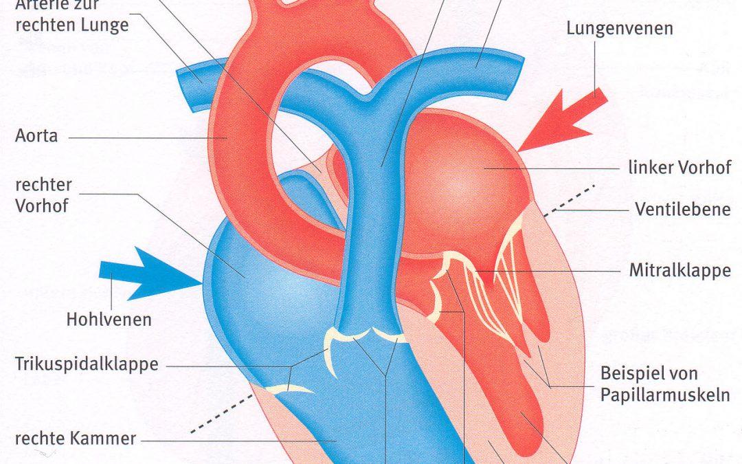 Lehrbrief 6 – 1.1 Aufbau des Herzens