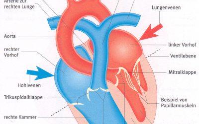 Lehrbrief 6 – 1.1 Aufbau Herz