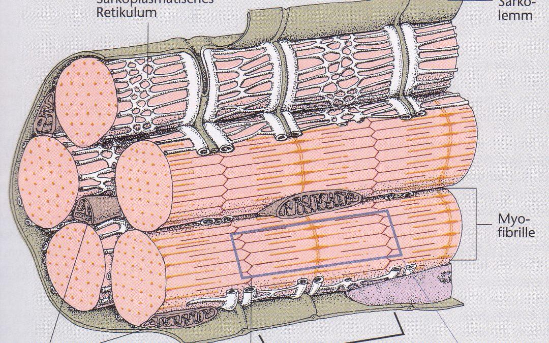 Lehrbrief 1 – 1.1 Muskelanatomie und Energiebereitstellung