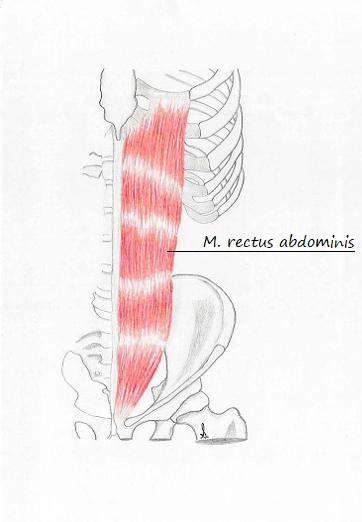 Lehrbrief 13 – 3.2 Muskeln Bauch und unterer Rücken